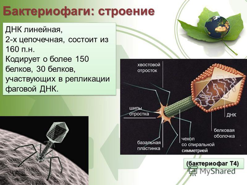 Бактериофаги: строение (бактериофаг Т4) ДНК линейная, 2-х цепочечная, состоит из 160 п.н. Кодирует о более 150 белков, 30 белков, участвующих в репликации фаговой ДНК. ДНК линейная, 2-х цепочечная, состоит из 160 п.н. Кодирует о более 150 белков, 30