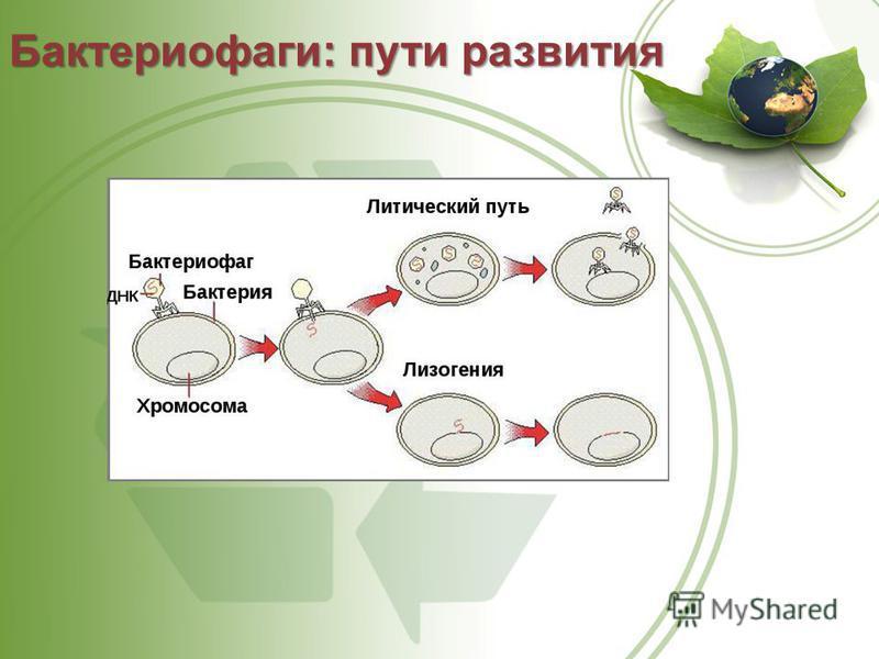 Бактериофаги: пути развития