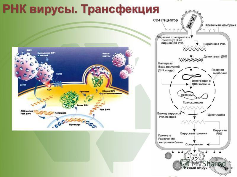 РНК вирусы. Трансфекция