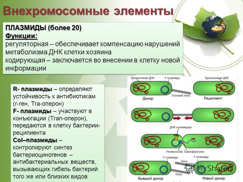 Внехромосомные элементы ПЛАЗМИДЫ (более 20) Функции: регуляторная – обеспечивает компенсацию нарушений метаболизма ДНК клетки хозяина кодирующая – заключается во внесении в клетку новой информации ПЛАЗМИДЫ (более 20) Функции: регуляторная – обеспечив