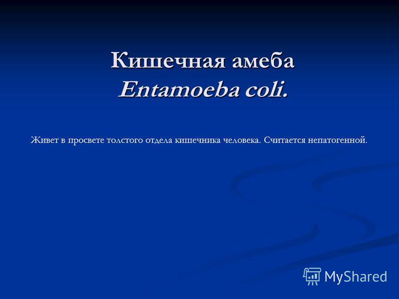 Кишечная амеба Entamoeba coli. Живет в просвете толстого отдела кишечника человека. Считается непатогенной.