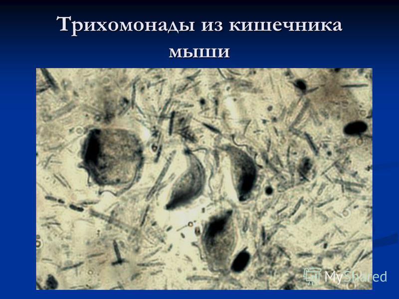 Трихомонады из кишечника мыши