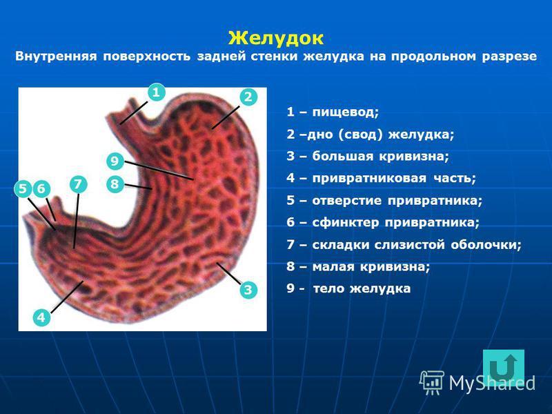 Желудок Внутренняя поверхность задней стенки желудка на продольном разрезе 2 1 4 65 78 9 3 1 – пищевод; 2 –дно (свод) желудка; 3 – большая кривизна; 4 – привратниковая часть; 5 – отверстие привратника; 6 – сфинктер привратника; 7 – складки слизистой