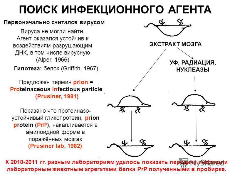 УФ, РАДИАЦИЯ, НУКЛЕАЗЫ ЭКСТРАКТ МОЗГА ПОИСК ИНФЕКЦИОННОГО АГЕНТА Вируса не могли найти. Агент оказался устойчив к воздействиям разрушающим ДНК, в том числе вирусную (Alper, 1966) Гипотеза: белок (Griffith, 1967) Предложен термин prion = Proteinaceous