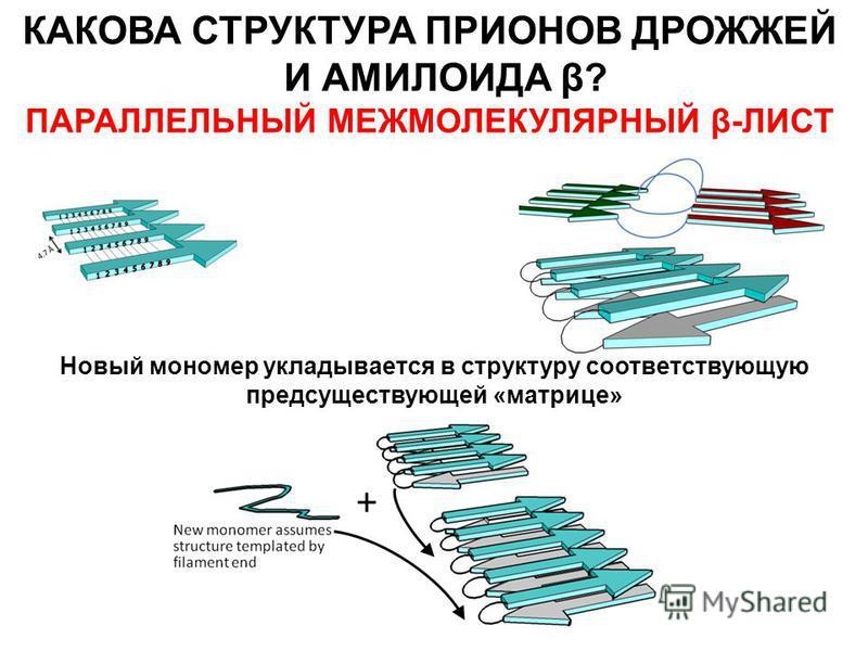 КАКОВА СТРУКТУРА ПРИОНОВ ДРОЖЖЕЙ И АМИЛОИДА β? ПАРАЛЛЕЛЬНЫЙ МЕЖМОЛЕКУЛЯРНЫЙ β-ЛИСТ Новый мономер укладывается в структуру соответствующую предсуществующей «матрице»