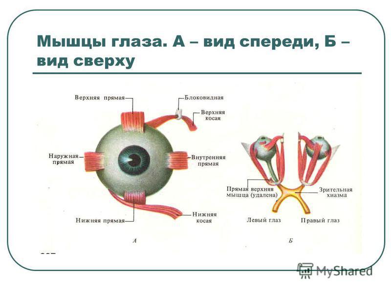 Мышцы глаза. А – вид спереди, Б – вид сверху