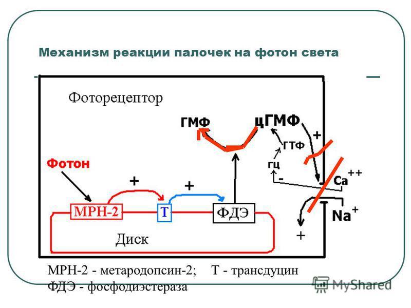 Механизм реакции палочек на фотон света МРН-2 - метародопсин-2; Т - трансдуцин ФДЭ - фосфодиэстераза