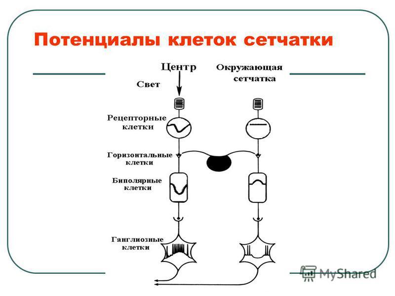Потенциалы клеток сетчатки
