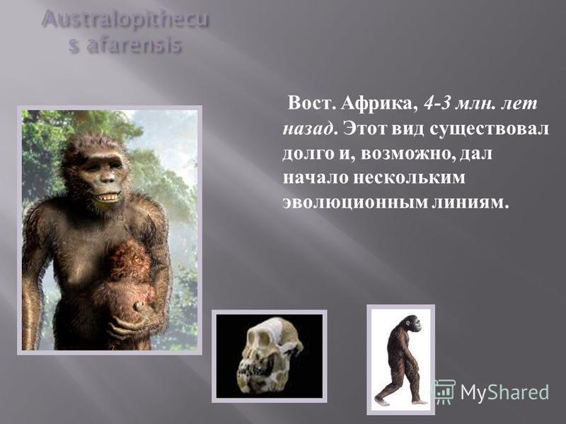 Australopithecu s afarensis Вост. Африка, 4-3 млн. лет назад. Этот вид существовал долго и, возможно, дал начало нескольким эволюционным линиям.
