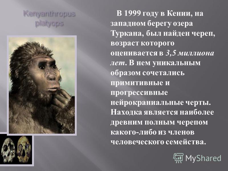Kenyanthropus platyops В 1999 году в Кении, на западном берегу озера Туркана, был найден череп, возраст которого оценивается в 3,5 миллиона лет. В нем уникальным образом сочетались примитивные и прогрессивные нейрокраниальные черты. Находка является