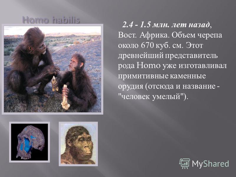 Homo habilis 2.4 - 1.5 млн. лет назад, Вост. Африка. Объем черепа около 670 куб. см. Этот древнейший представитель рода Homo уже изготавливал примитивные каменные орудия ( отсюда и название -  человек умелый ).