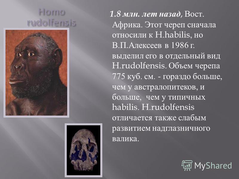 Homo rudolfensis 1.8 млн. лет назад, Вост. Африка. Этот череп сначала относили к H.habilis, но В. П. Алексеев в 1986 г. выделил его в отдельный вид H.rudolfensis. Объем черепа 775 куб. см. - гораздо больше, чем у австралопитеков, и больше, чем у типи