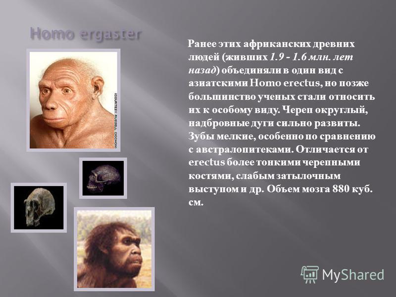 Homo ergaster Ранее этих африканских древних людей ( живших 1.9 - 1.6 млн. лет назад ) объединяли в один вид с азиатскими Homo erectus, но позже большинство ученых стали относить их к особому виду. Череп округлый, надбровные дуги сильно развиты. Зубы