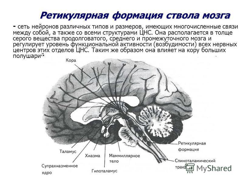 - сеть нейронов различных типов и размеров, имеющих многочисленные связи между собой, а также со всеми структурами ЦНС. Она располагается в толще серого вещества продолговатого, среднего и промежуточного мозга и регулирует уровень функциональной акти