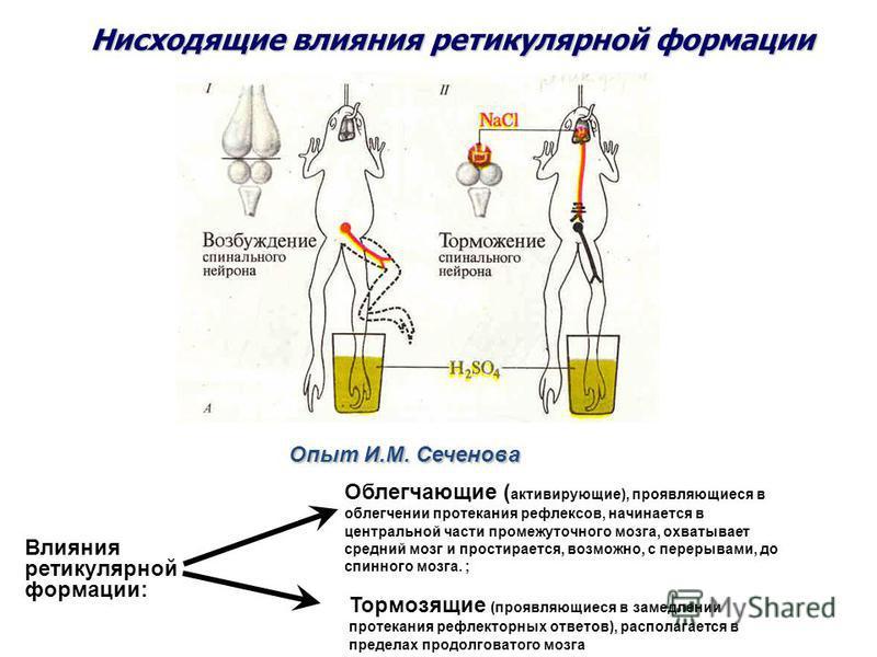 Опыт И.М. Сеченова Нисходящие влияния ретикулярной формации Облегчающие ( активирующие), проявляющиеся в облегчении протекания рефлексов, начинается в центральной части промежуточного мозга, охватывает средний мозг и простирается, возможно, с перерыв