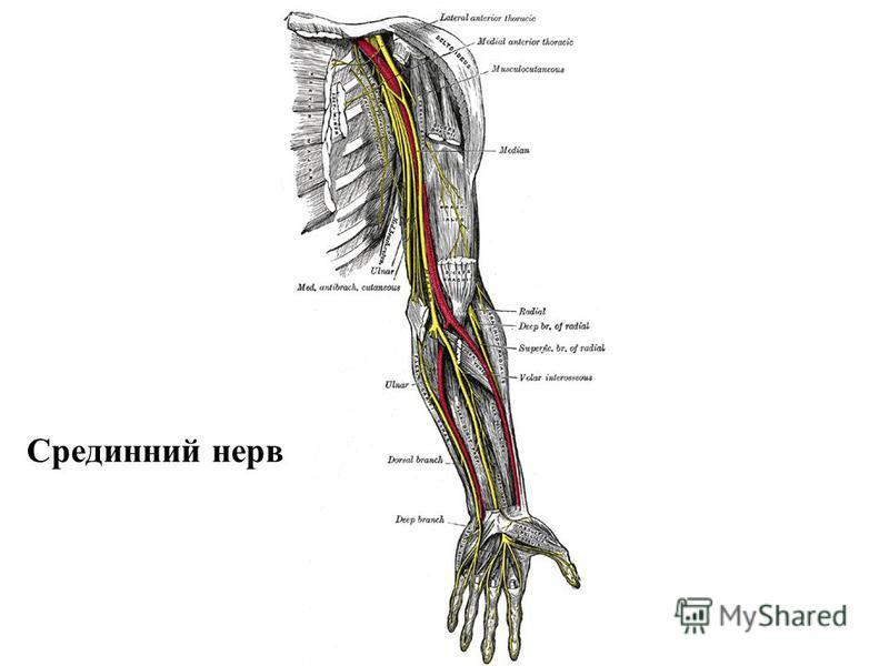 Срединний нерв