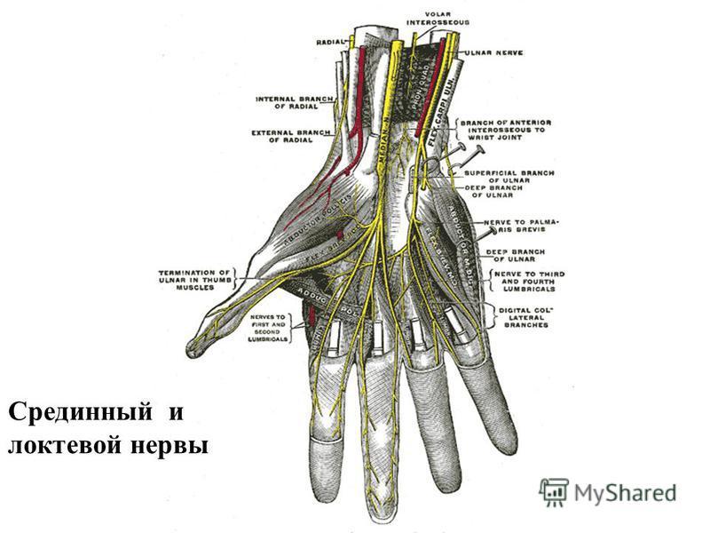 Срединный и локтевой нервы