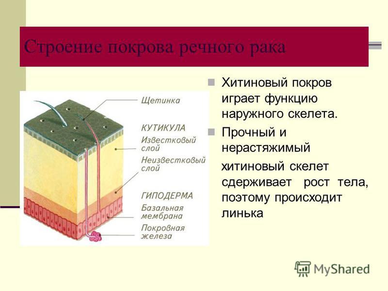 Строение покрова речного рака Хитиновый покров играет функцию наружного скелета. Прочный и нерастяжимый хитиновый скелет сдерживает рост тела, поэтому происходит линька