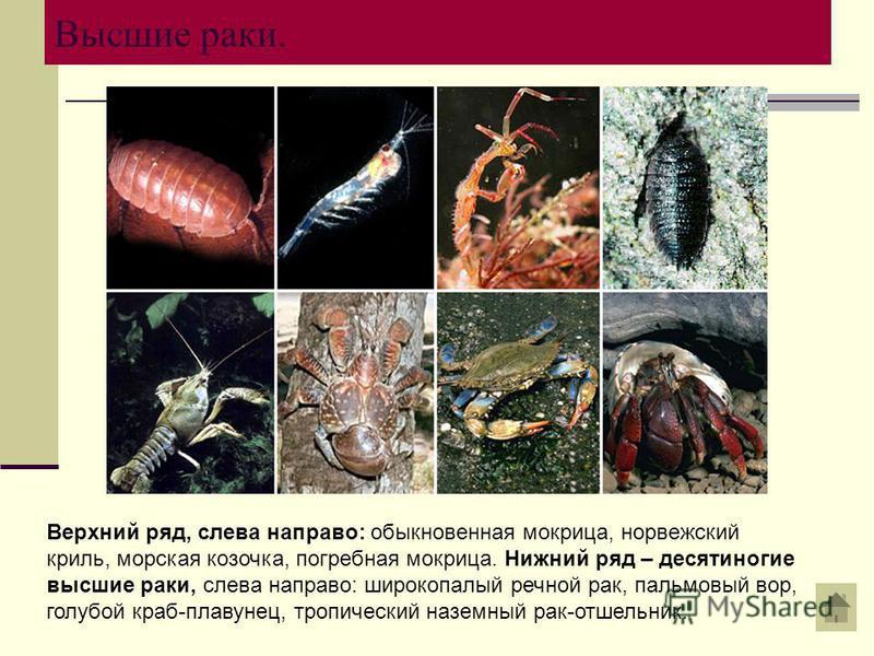 Высшие раки. Верхний ряд, слева направо: обыкновенная мокрица, норвежский криль, морская козочка, погребная мокрица. Нижний ряд – десятиногие высшие раки, слева направо: широкополый речной рак, пальмовый вор, голубой краб-плавунец, тропический наземн