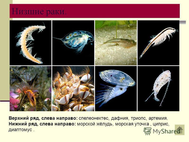 Низшие раки. Верхний ряд, слева направо: спелеонектес, дафния, триопс, артемия. Нижний ряд, слева направо: морской жёлудь, морская уточка, циприс, диаптомус.