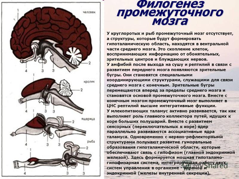 У круглоротых и рыб промежуточный мозг отсутствует, а структуры, которые будут формировать гипоталамическую область, находятся в вентральной части среднего мозга. Это скопление клеток, воспринимающих информацию от обонятельных, зрительных центров и б