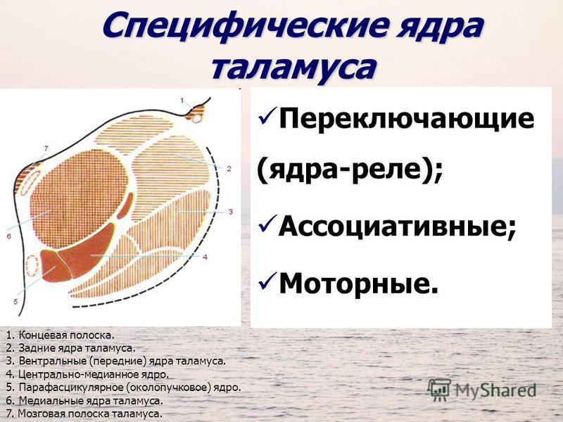 Специфические ядра таламуса Переключающие (ядра-реле); Ассоциативные; Моторные. 1. Концевая полоска. 2. Задние ядра таламуса. 3. Вентральные (передние) ядра таламуса. 4. Центрально-медианное ядро. 5. Парафасцикулярное (околопучковое) ядро. 6. Медиаль