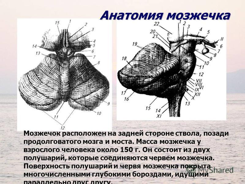Анатомия мозжечка Мозжечок расположен на задней стороне ствола, позади продолговатого мозга и моста. Масса мозжечка у взрослого человека около 150 г. Он состоит из двух полушарий, которые соединяются червем мозжечка. Поверхность полушарий и червя моз