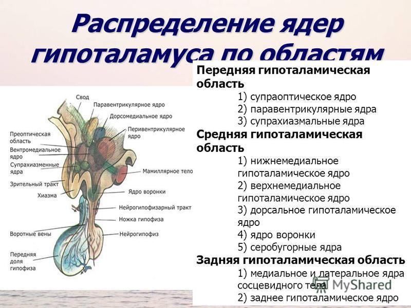 Распределение ядер гипоталамуса по областям Передняя гипоталамическая область 1) супраоптическое ядро 2) паравентрикулярные ядра 3) супрахиазмальные ядра Средняя гипоталамическая область 1) нижнемедиальное гипоталамическое ядро 2) верхнемедиальное ги