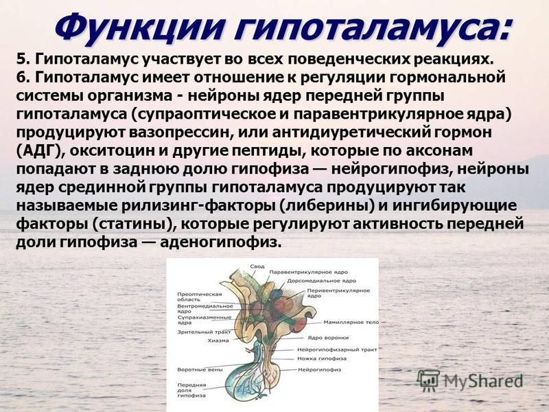 5. Гипоталамус участвует во всех поведенческих реакциях. 6. Гипоталамус имеет отношение к регуляции гормональной системы организма - нейроны ядер передней группы гипоталамуса (супраоптическое и паравентрикулярное ядра) продуцируют вазопрессин, или ан