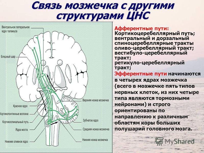 Связь мозжечка с другими структурами ЦНС Афферентные пути: Кортикоцеребеллярный путь; вентральный и дорзальный спиноцеребеллярные тракты оливо-церебеллярный тракт; вестибуло-церебеллярный тракт; ретикуло-церебеллярный тракт; Эфферентные пути начинают