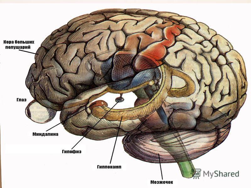 Мозжечок новый