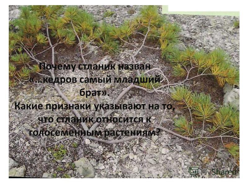 Почему стланик назван «…кедров самый младший брат». Какие признаки указывают на то, что стланик относится к голосеменным растениям?