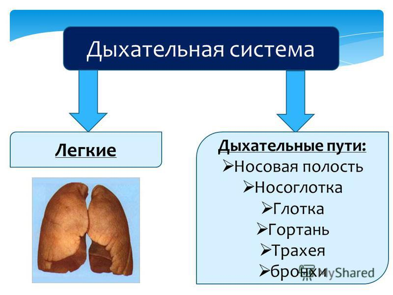 Дыхательная система Легкие Дыхательные пути: Носовая полость Носоглотка Глотка Гортань Трахея бронхи