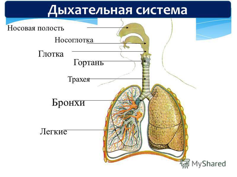 Носоглотка Носовая полость Гортань Трахея Бронхи Легкие Глотка Дыхательная система