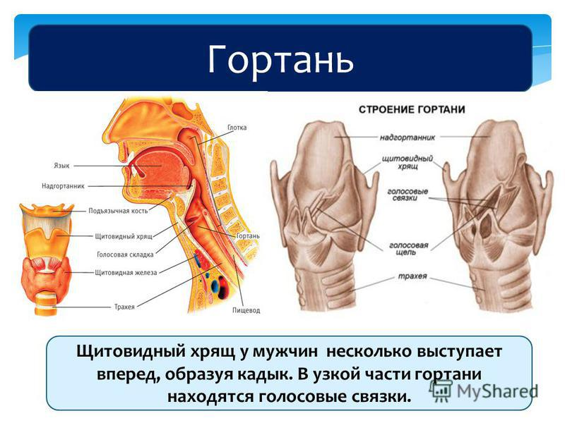 Гортань Щитовидный хрящ у мужчин несколько выступает вперед, образуя кадык. В узкой части гортани находятся голосовые связки.