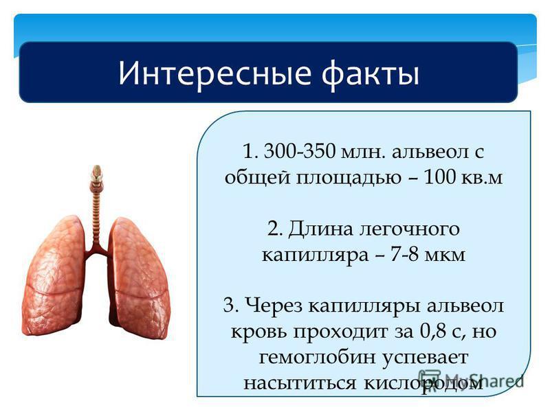 Интересные факты 1. 300-350 млн. альвеол с общей площадью – 100 кв.м 2. Длина легочного капилляра – 7-8 мкм 3. Через капилляры альвеол кровь проходит за 0,8 с, но гемоглобин успевает насытиться кислородом