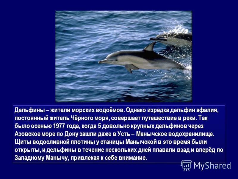Дельфины – жители морских водоёмов. Однако изредка дельфин афалия, постоянный житель Чёрного моря, совершает путешествие в реки. Так было осенью 1977 года, когда 5 довольно крупных дельфинов через Азовское море по Дону зашли даже в Усть – Манычское в