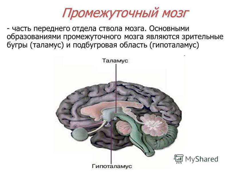 Промежуточный мозг - часть переднего отдела ствола мозга. Основными образованиями промежуточного мозга являются зрительные бугры (таламус) и подбугровая область (гипоталамус)