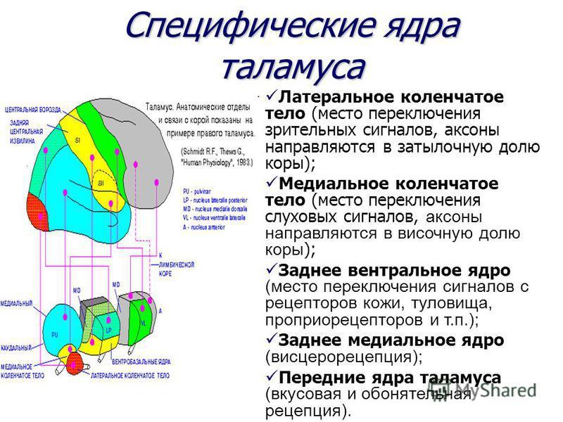 Специфические ядра таламуса Латеральное коленчатое тело (место переключения зрительных сигналов, аксоны направляются в затылочную долю коры); Медиальное коленчатое тело (место переключения слуховых сигналов, аксоны направляются в височную долю коры )