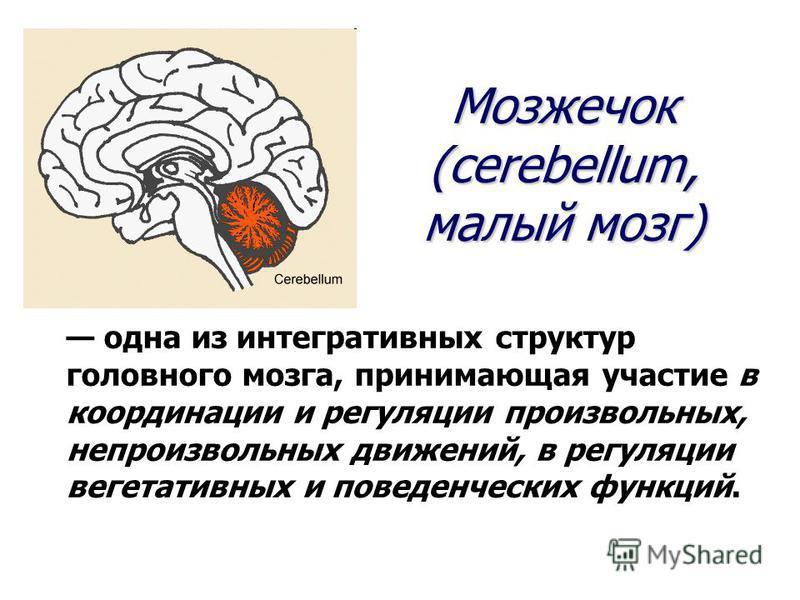 одна из интегративных структур головного мозга, принимающая участие в координации и регуляции произвольных, непроизвольных движений, в регуляции вегетативных и поведенческих функций. Мозжечок (cerebellum, малый мозг)