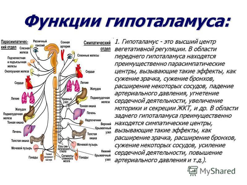 Функции гипоталамуса: 1. Гипоталамус - это высший центр вегетативной регуляции. В области переднего гипоталамуса находятся преимущественно парасимпатические центры, вызывающие такие эффекты, как сужение зрачка, сужение бронхов, расширение некоторых с