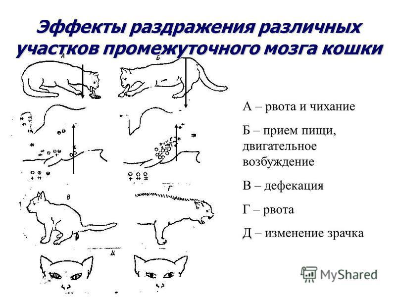 Эффекты раздражения различных участков промежуточного мозга кошки А – рвота и чихание Б – прием пищи, двигательное возбуждение В – дефекация Г – рвота Д – изменение зрачка