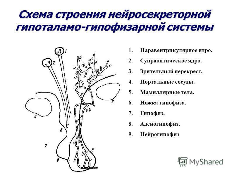 Схема строения нейросекреторной гипоталамо-гипофизарной системы 1. Паравентрикулярное ядро. 2. Супраоптическое ядро. 3. Зрительный перекрест. 4. Портальные сосуды. 5. Мамиллярные тела. 6. Ножка гипофиза. 7.Гипофиз. 8.Аденогипофиз. 9.Нейрогипофиз