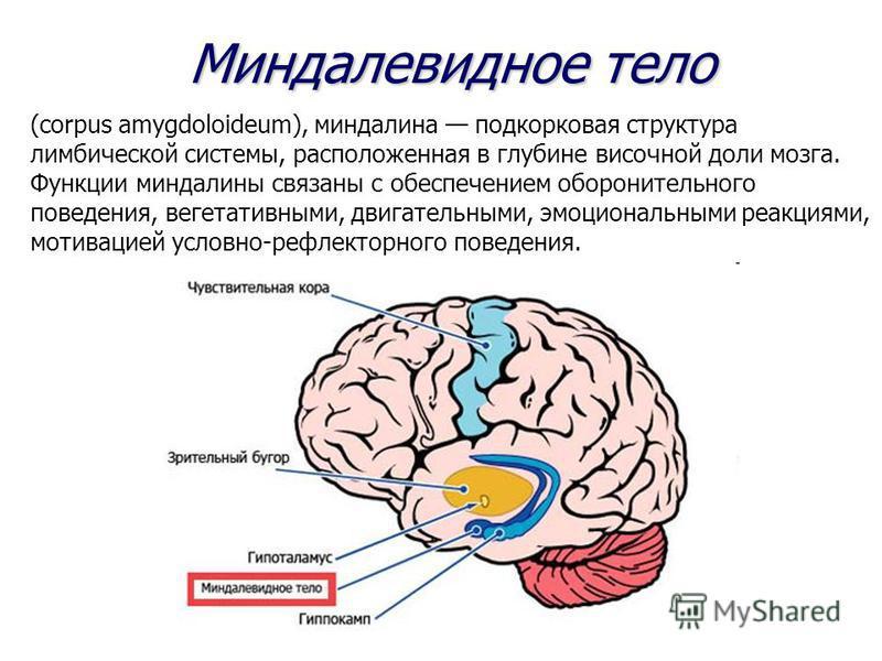 Миндалевидное тело (corpus amygdoloideum), миндалина подкорковая структура лимбической системы, расположенная в глубине височной доли мозга. Функции миндалины связаны с обеспечением оборонительного поведения, вегетативными, двигательными, эмоциональн