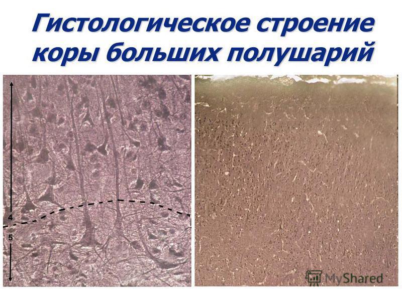 Гистологическое строение коры больших полушарий