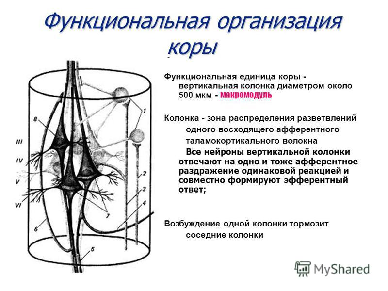 Функциональная организация коры Функциональная единица коры - вертикальная колонка диаметром около 500 мкм - макромодуль Колонка - зона распределения разветвлений одного восходящего афферентного таламокортикального волокна Все нейроны вертикальной ко