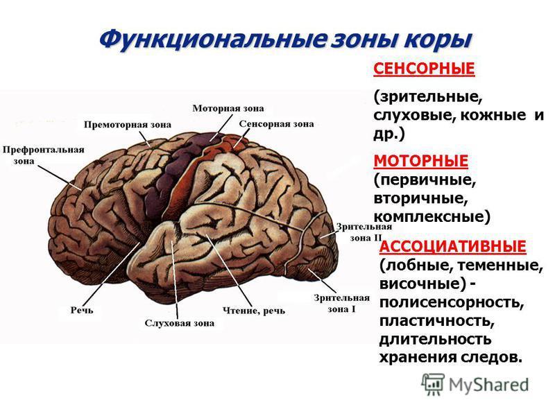 Функциональные зоны коры СЕНСОРНЫЕ (зрительные, слуховые, кожные и др.) МОТОРНЫЕ (первичные, вторичные, комплексные) АССОЦИАТИВНЫЕ (лобные, теменные, височные) - полисенсорность, пластичность, длительность хранения следов.