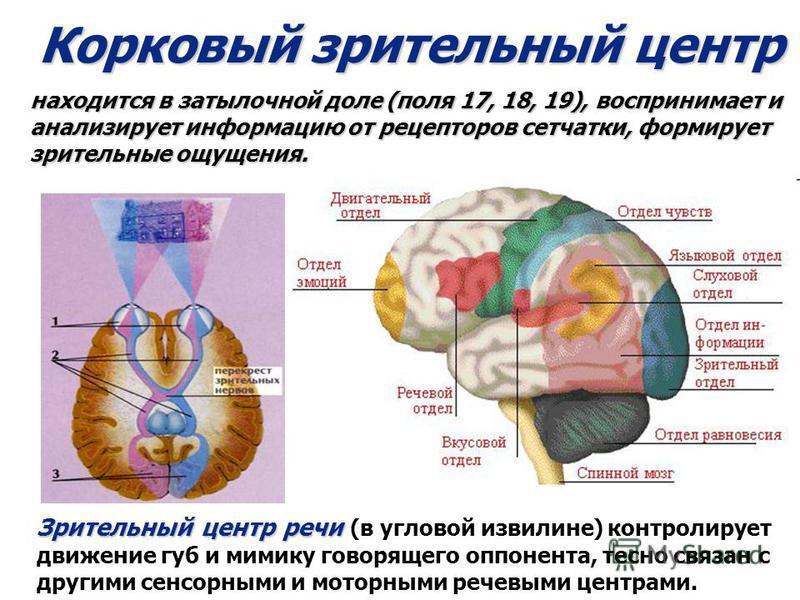 Корковый зрительный центр находится в затылочной доле (поля 17, 18, 19), воспринимает и анализирует информацию от рецепторов сетчатки, формирует зрительные ощущения. Зрительный центр речи Зрительный центр речи (в угловой извилине) контролирует движен