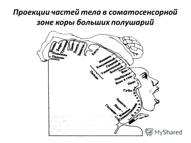 Проекции частей тела в соматосенсорной зоне коры больших полушарий