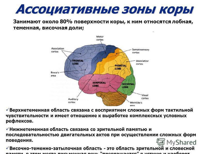Ассоциативные зоны коры Верхнетеменная область связана с восприятием сложных форм тактильной чувствительности и имеет отношение к выработке комплексных условных рефлексов. Нижнетеменная область связана со зрительной памятью и последовательностью двиг
